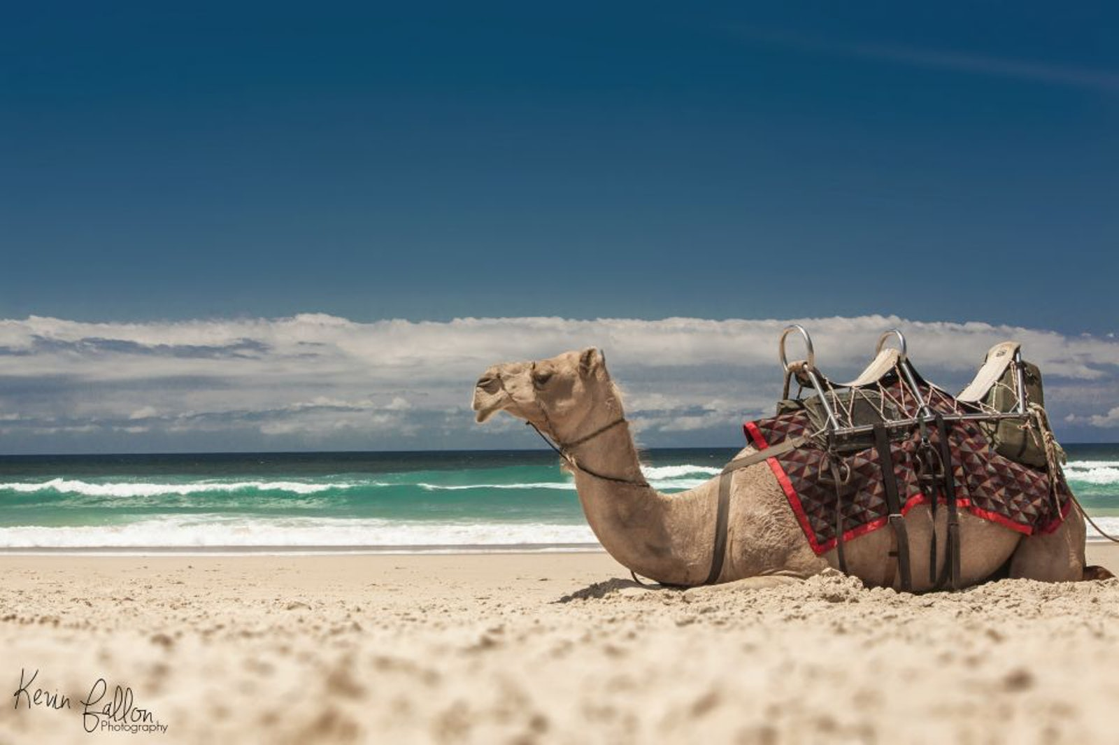 Port Macquarie Camel Safaris at Lighthouse Beach